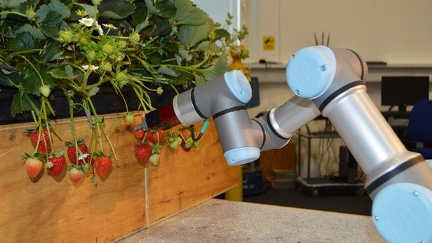 robot cueilleur de fraises