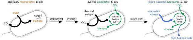 L'évolution dirigée apprend aux bactéries à manger du dioxyde de carbone 1