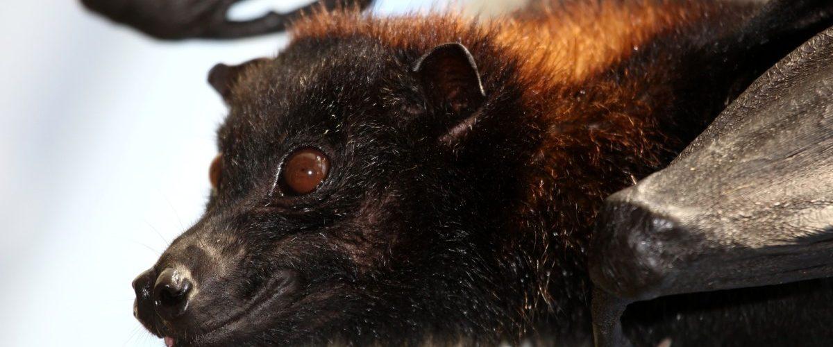 Pourquoi les chauves-souris sont à l'origine de tant d'épidémies virales mortelles