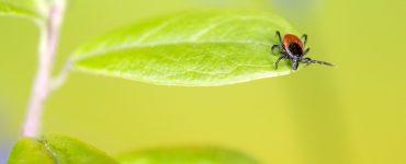 Un traitement pour la maladie de Lyme aurait été trouvé