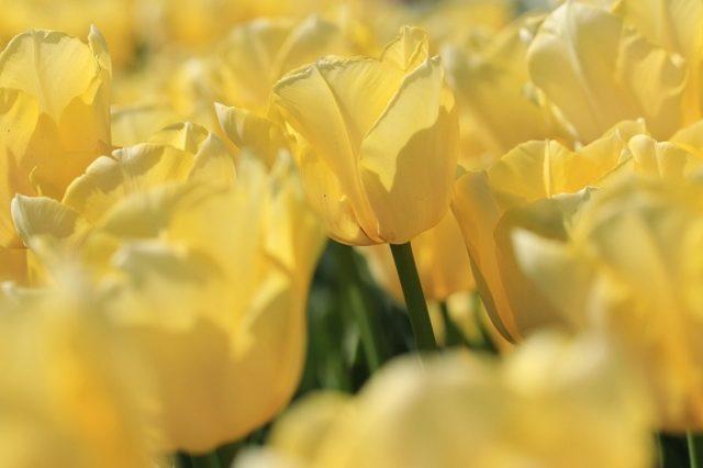 Planter des bulbes à tulipe