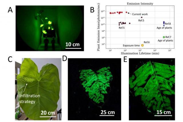 Les plantes phosphorescentes bientôt dans nos rues